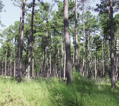 loblolly stand