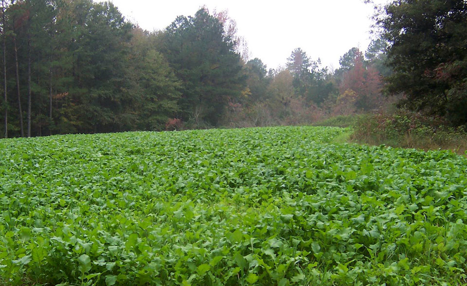 food plot for deer
