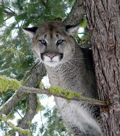 mountain lion treed