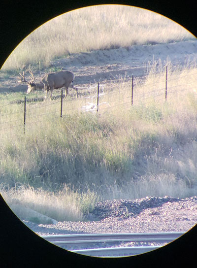 mule deer in scope