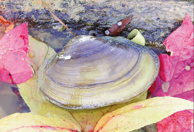 71d159ed2 How Pond Mussels Help Provide Opportunities for Other Wildlife ...