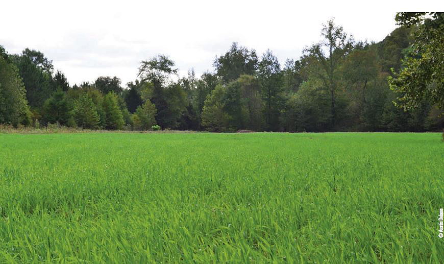 oats grain brassica food plot