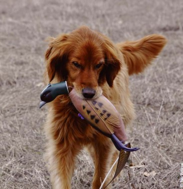 retriever with dummy
