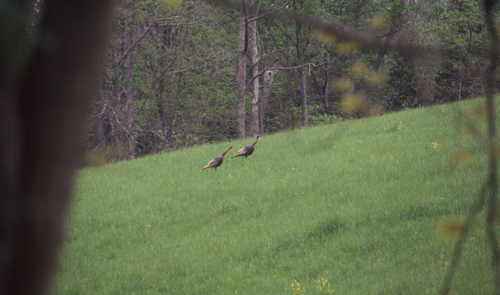 gobbling turkeys in a field