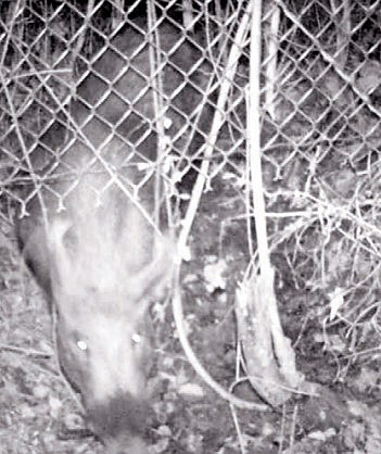 pig on game camera