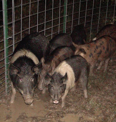 trapped pigs