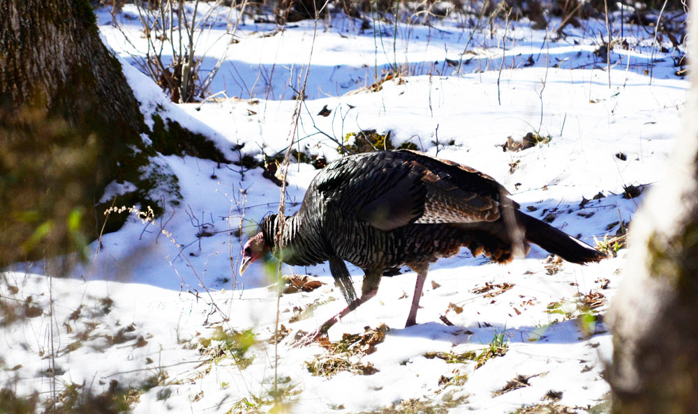 turkey in the snow