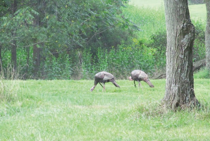 turkeys eating