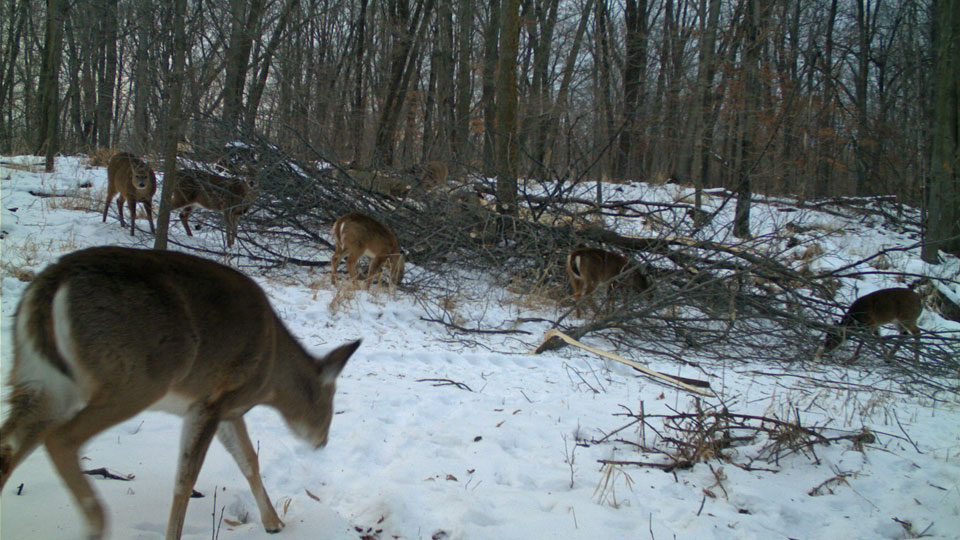 deer eating in winter