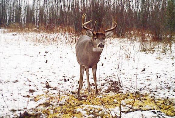 deer in winter eating corn