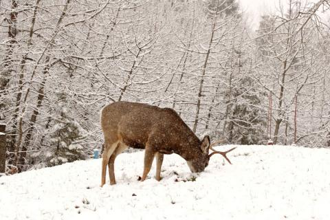 9cce9baa9af Understanding Deer Movement and What Makes a Good Wintering Area
